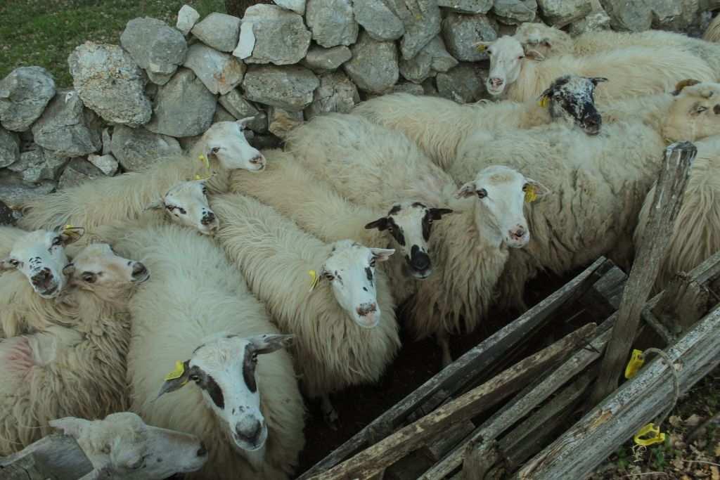 ovce 1 - Klara Kovačević
